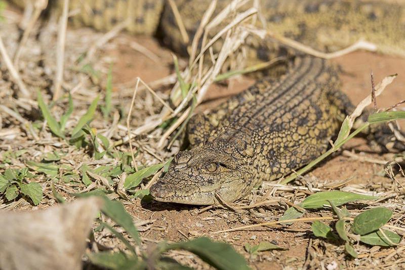 crocodile1 1-82